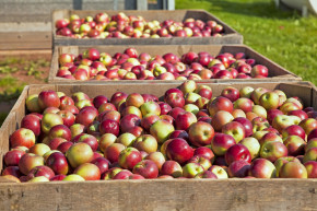 apples harvest fruits in season